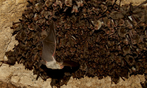 Greater mouse-eared bats at the Orlova Chuka cave in Bulgaria.